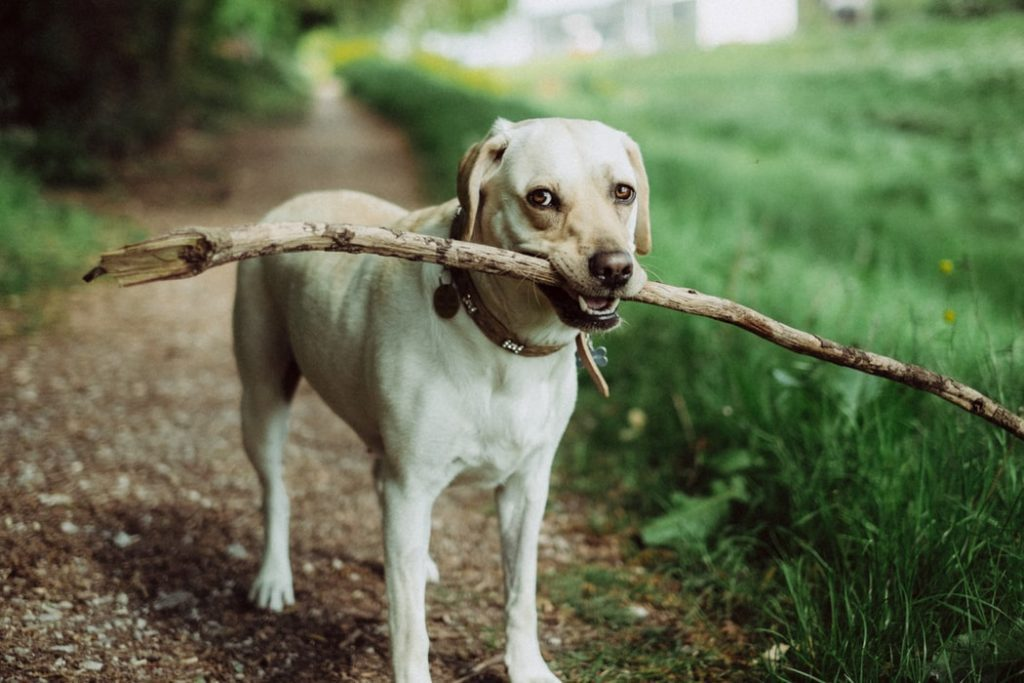A dog with a stick on a dog walk
